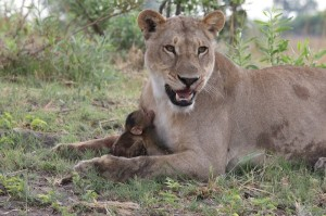 Lioness-Baboon_AH3C0012-600x399